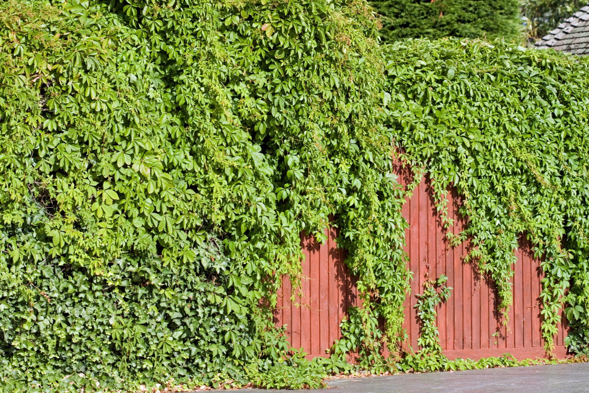 Privacy Fence Ideas-Fence covered with Ivy