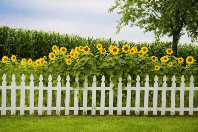 Privacy Fence Ideas-Sunflower fence