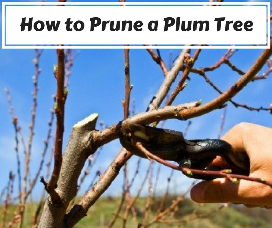 Pruning Plum tree easily